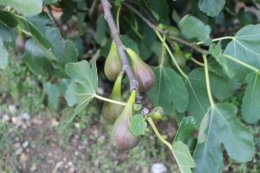 Figs 'Brown Turkey'