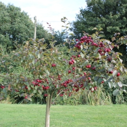 Crabapple 'Harry Baker'