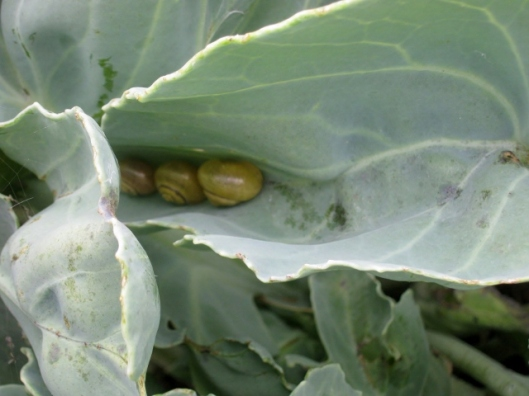 IMG_5591Snails in Sea Kale leaf (640x480)
