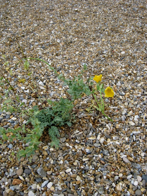 IMG_5595Yellow Horned-poppy (480x640)