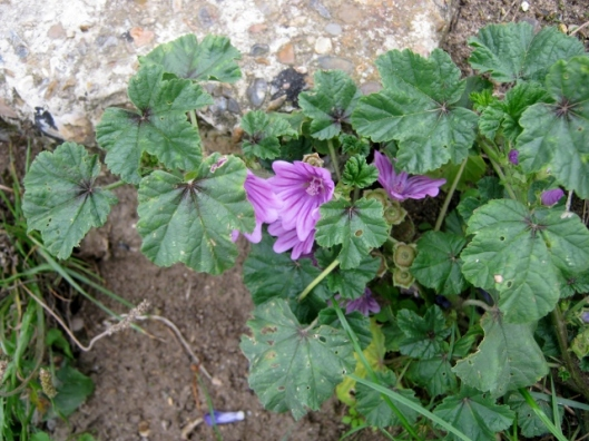 IMG_5603Common Mallow (640x480)