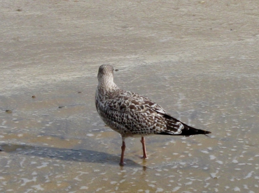 Immature Herring Gull