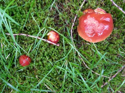 IMG_5243Bolete fungus perhaps