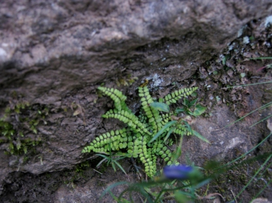 IMG_5380Tiny maidenhair spleenwort
