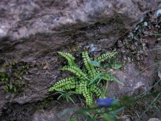 IMG_5380Tiny maidenhair spleenwort