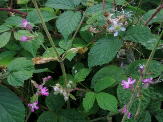 IMG_5402Red Campion and Bramble