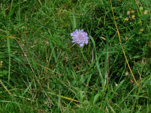 IMG_5410Field Scabious