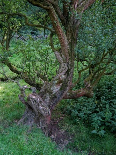 IMG_5416Gnarled tree