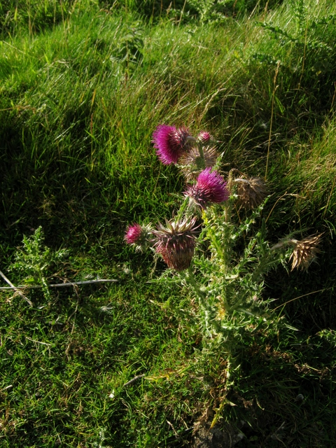 IMG_5420Musk Thistle