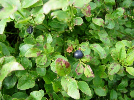 IMG_5456Bilberry
