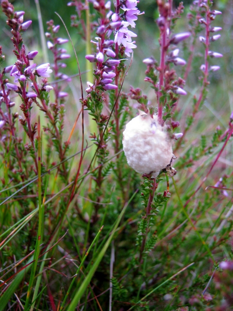 IMG_5468Cocoon on heather