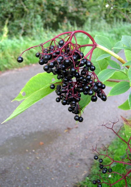 IMG_5793Elderberries