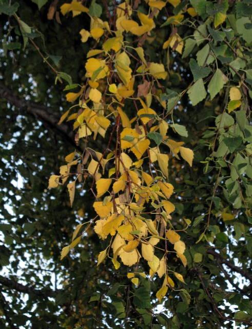 IMG_5812Silver birch