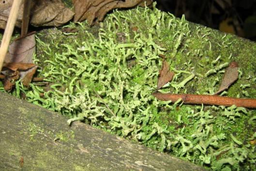 IMG_5852Cladonia  Lichen