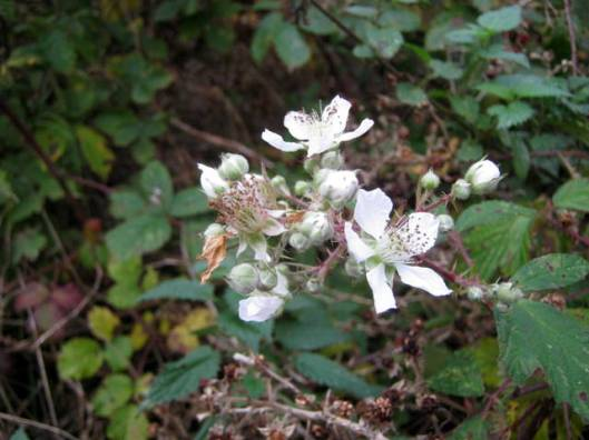 IMG_5869Bramble flowers