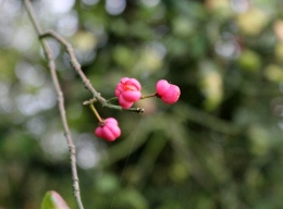 Spindle berries beginning to split