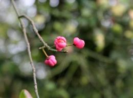 Spindle berries beginning to split