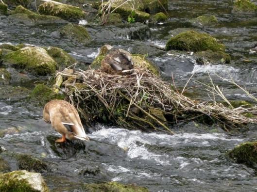 IMG_5496Duck's nest