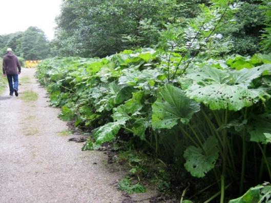IMG_5527Wild Rhubarb