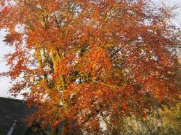 Copper Beech in the sun in the middle of the month