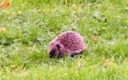 DSCN0029Hedgehog