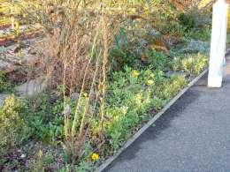 Calendula in flower