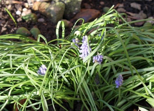 IMG_2543Grape hyacinths-001
