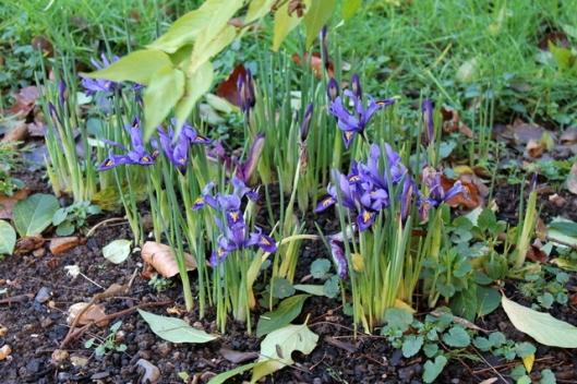 IMG_2545Miniature iris