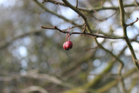 IMG_2657Hawthorn berries