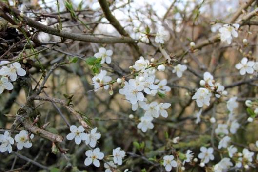 IMG_2662Cherry plum in hedge