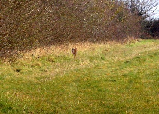 DSCN0277Roe deer-001