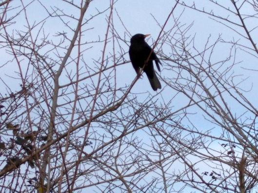 DSCN0299Blackbird