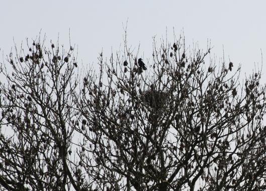 IMG_2687Rook's nest-001