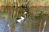 Greylag pair on the pond