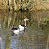 Greylag pair on the pond
