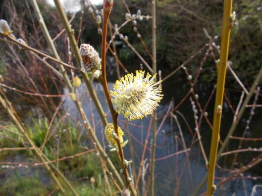 DSCN0346Pussy willow