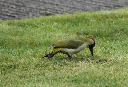 IMG_2741Green Woodpecker