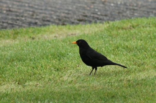 IMG_2744Blackbird