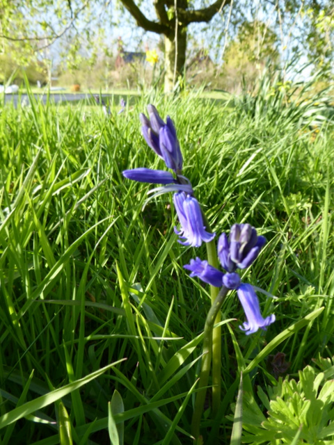 P1000041Bluebell