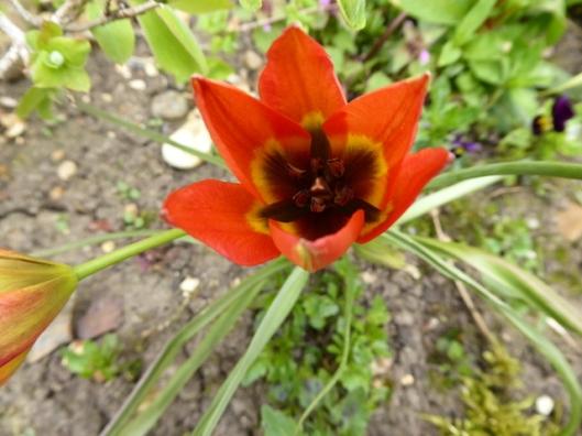 P1000073Miniature Tulip