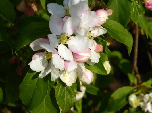 P1000182Crabapple s. blossom