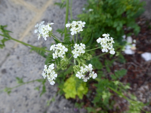 P1000201Cow parsley
