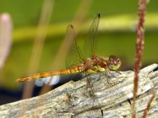 P1000910Common Darter