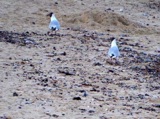 P1000959Black-headed Seagulls