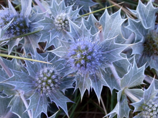 P1000962Sea-holly