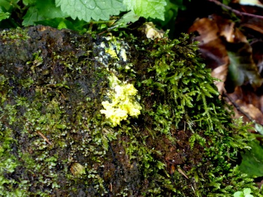 P1000754Slime mould