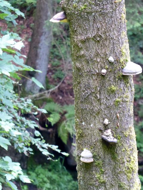 P1000764Hoof fungus