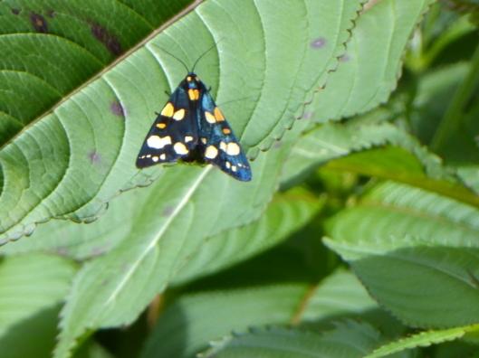 P1000864ScarletTiger Moth