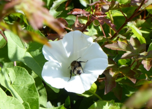 p1010009bumble-bee-hedge-bindweed