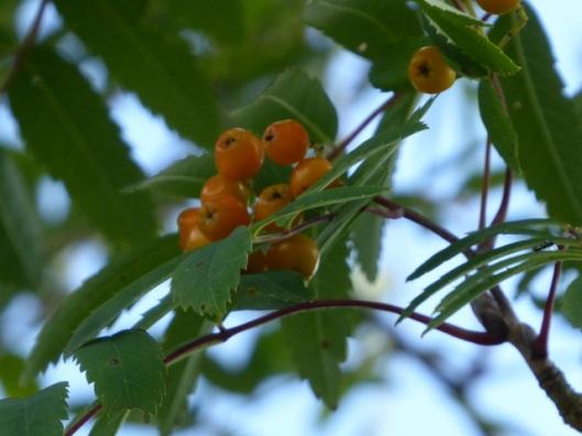 p1010010rowan-berries